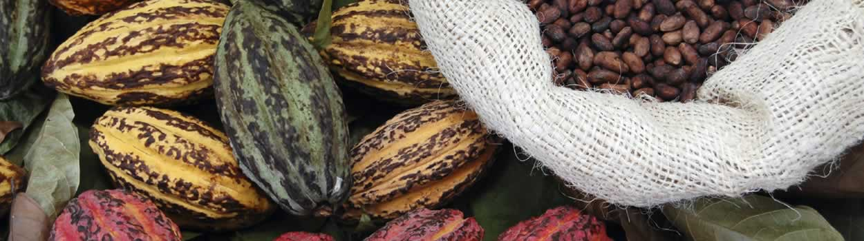Organic raw cacao beans