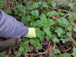 How do I identify Stinging Nettle?