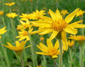arnica-flowers.png