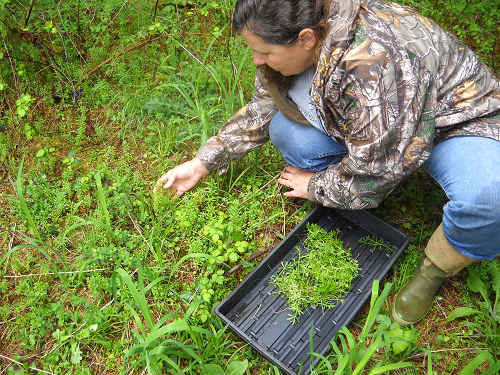 Picking Cleavers on our Farmstead