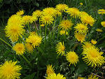 Health Benefits of Dandelion and Dandelion Root