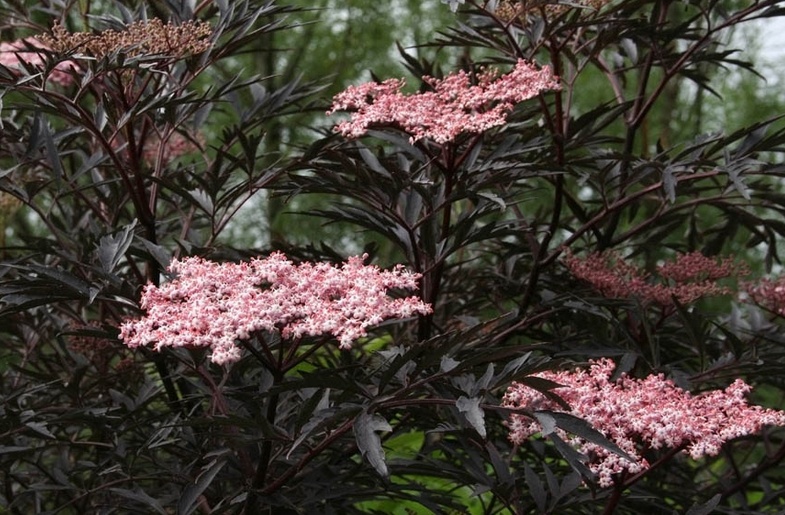 Elderberry (Sambucus nigra )