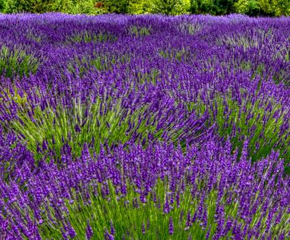 lavender-image.png