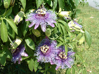 passiflora-known-also-as-the-passion-flowers.png