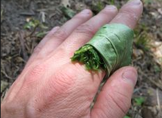 For nettle stings make a spit poultice of Plantain Leaves