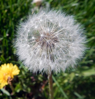 A Spring Blessing…Dandelions