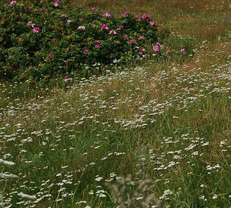 wild-yarrow-fields.png