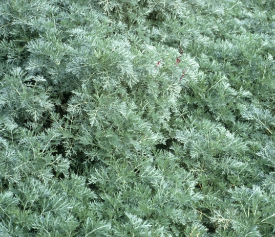 wormwood-field.png