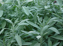 Maus' Sage Plants