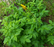 Maus' Organically Grown Agrimony Herb