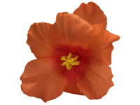 Orange hibiscus double hair flower clips