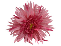 Pink daisy double hair flower clips