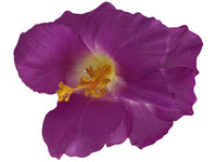 Purple hibiscus double hair flower clips
