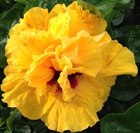 Cajun Gold Cajun hibiscus