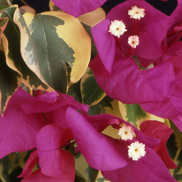 Buy Raspberry Ice bougainvillea now