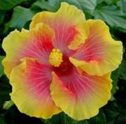 Bon Temps hibiscus
