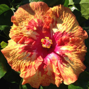Cajun Cocktail hibiscus
