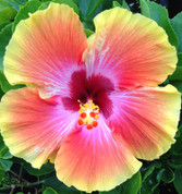 Cosmic Dancer hibiscus