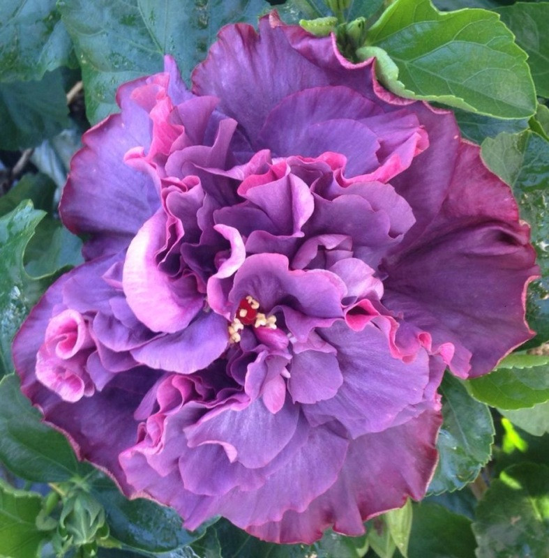 Bayou Rose Hibiscus Big Bad Flower