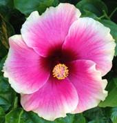 Love Bite hibiscus