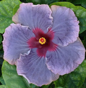 Blue Jean Baby hibiscus