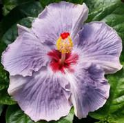 Cajun Blue Star hibiscus