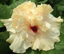 Cajun Rising Moon hibiscus