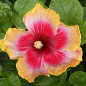 Provocative hibiscus