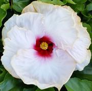 In Love Again hibiscus