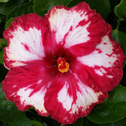 Rim of Fire hibiscus