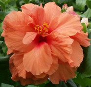 Holly's Pride hibiscus