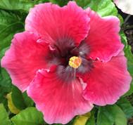 Sweet Cheeks hibiscus