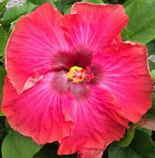 Cajun Maiden hibiscus