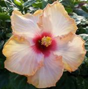 Tahitian Amber Ruffles hibiscus