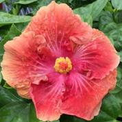 American Maid hibiscus