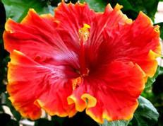 Tahitian Orange Garnet hibiscus