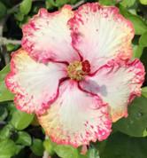 Strawberry hibiscus
