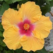 Cajun Peah hibiscus