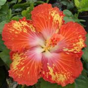 Ecstatic hibiscus