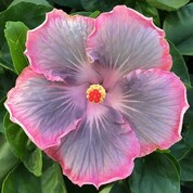Magic Crystal hibiscus
