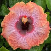 Moonstruck hibiscus