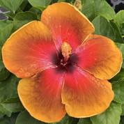 Tahitian Dessert Fire hibiscus