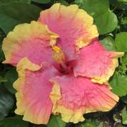 Tamibon hibiscus