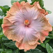 Paradise Jeal hibiscus