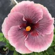 Kade's Dark Heart hibiscus