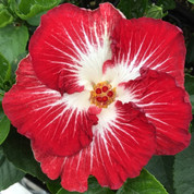 Tahitian Christmas Angel hibiscus