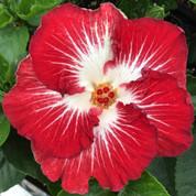 Tahitian Christmas Angel hibiscus