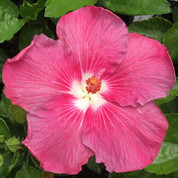Stargazer hibiscus