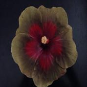 Queen Of Shiba hibiscus