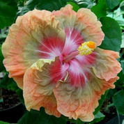 Jeanette Eliff hibiscus